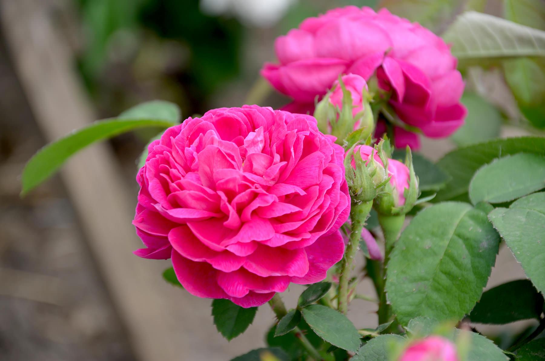 Image result for Rose de Rescht