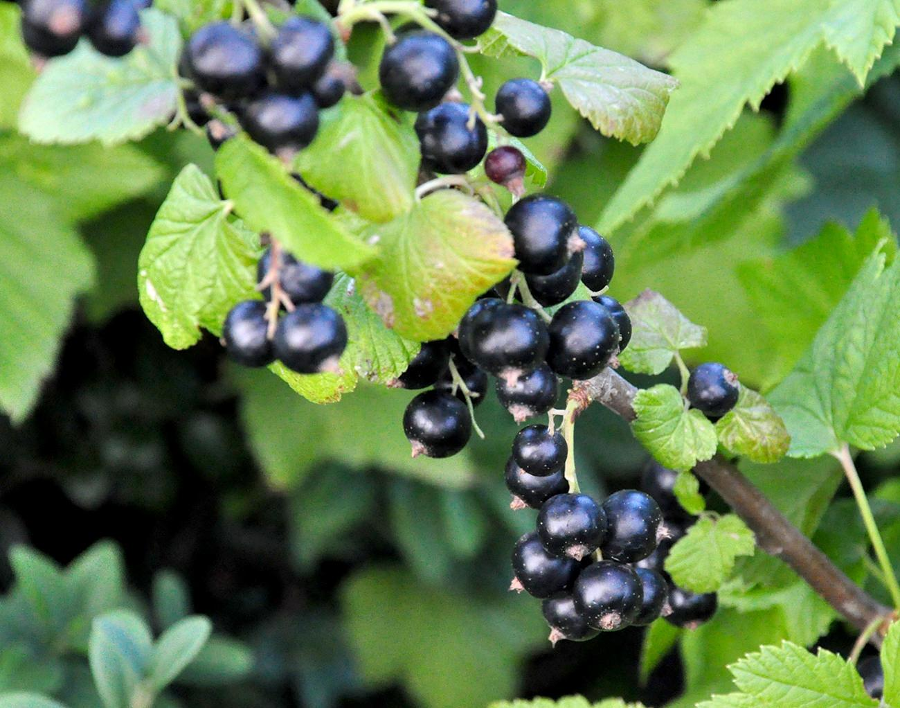 COACAZ | Butasi Arbusti Fructiferi | Pepiniera Pomicola SARUSI Arad - Dorobanti
