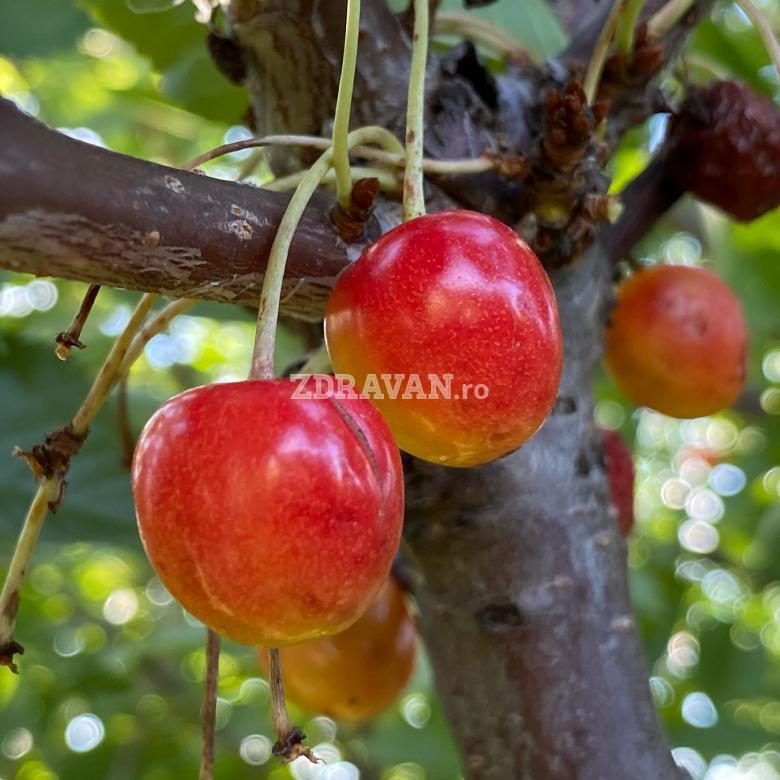 Cireș roz amar