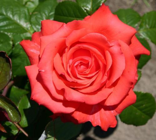 Testa Rosa