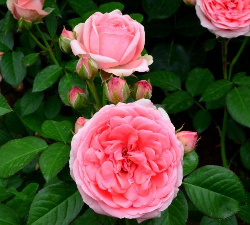 Trandafir kimono roz