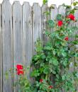 Trandafiri Sympathie