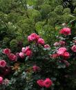 Trandafir roz Leonardo