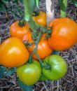 Tomate portocalii