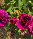 trandafir magenta