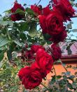 Buchet de trandafiri roșii Sympathie